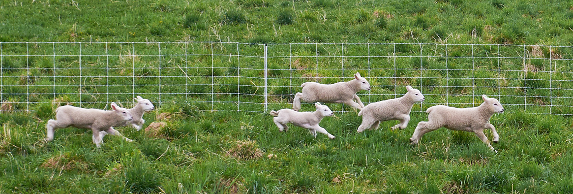 running-lambs-cropped