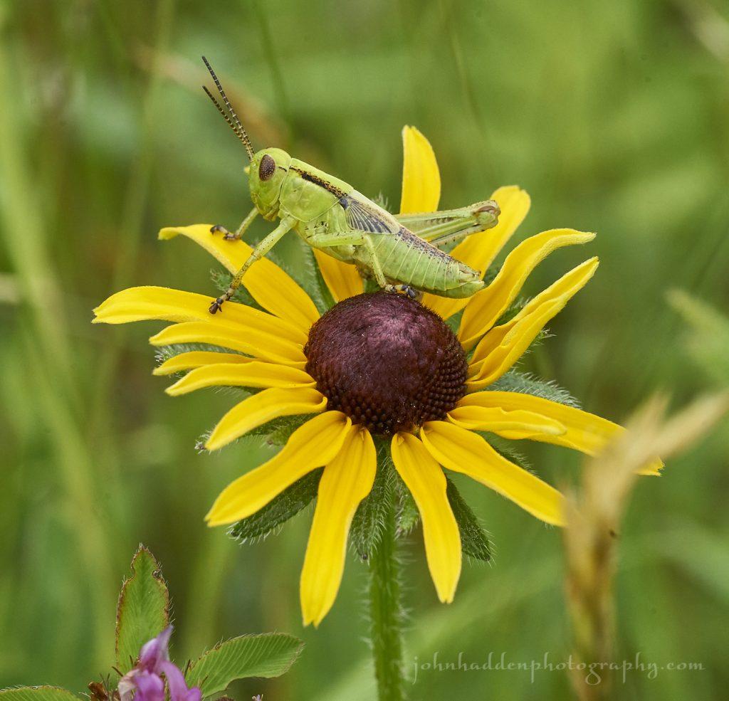 grasshopper-susan