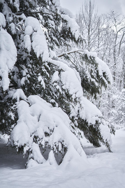 snow-on-hemlocks