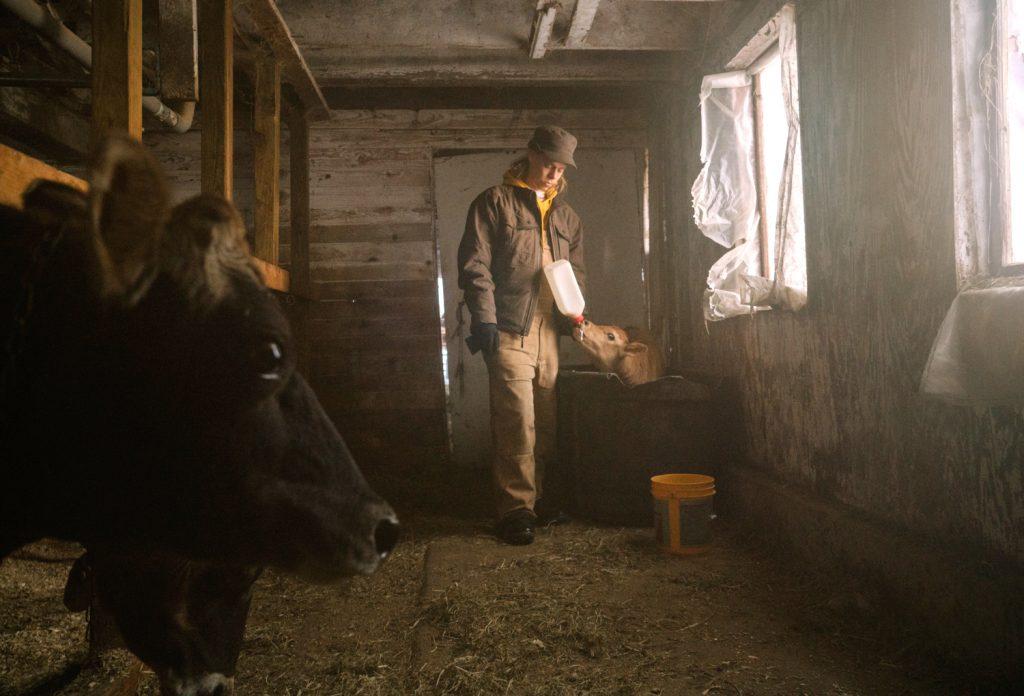 colin-barn-feeding-calf