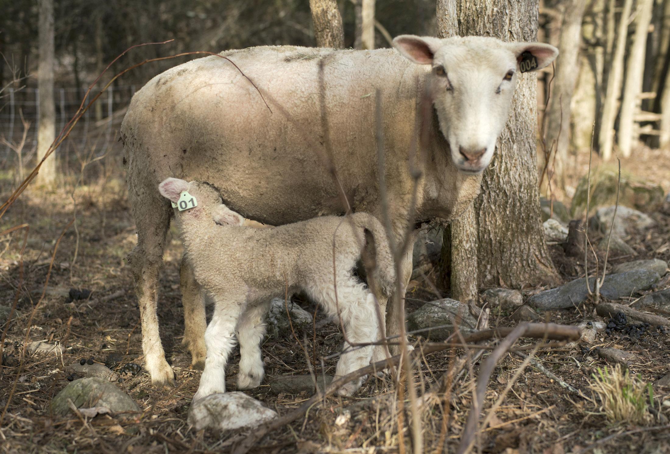 ewe-lamb