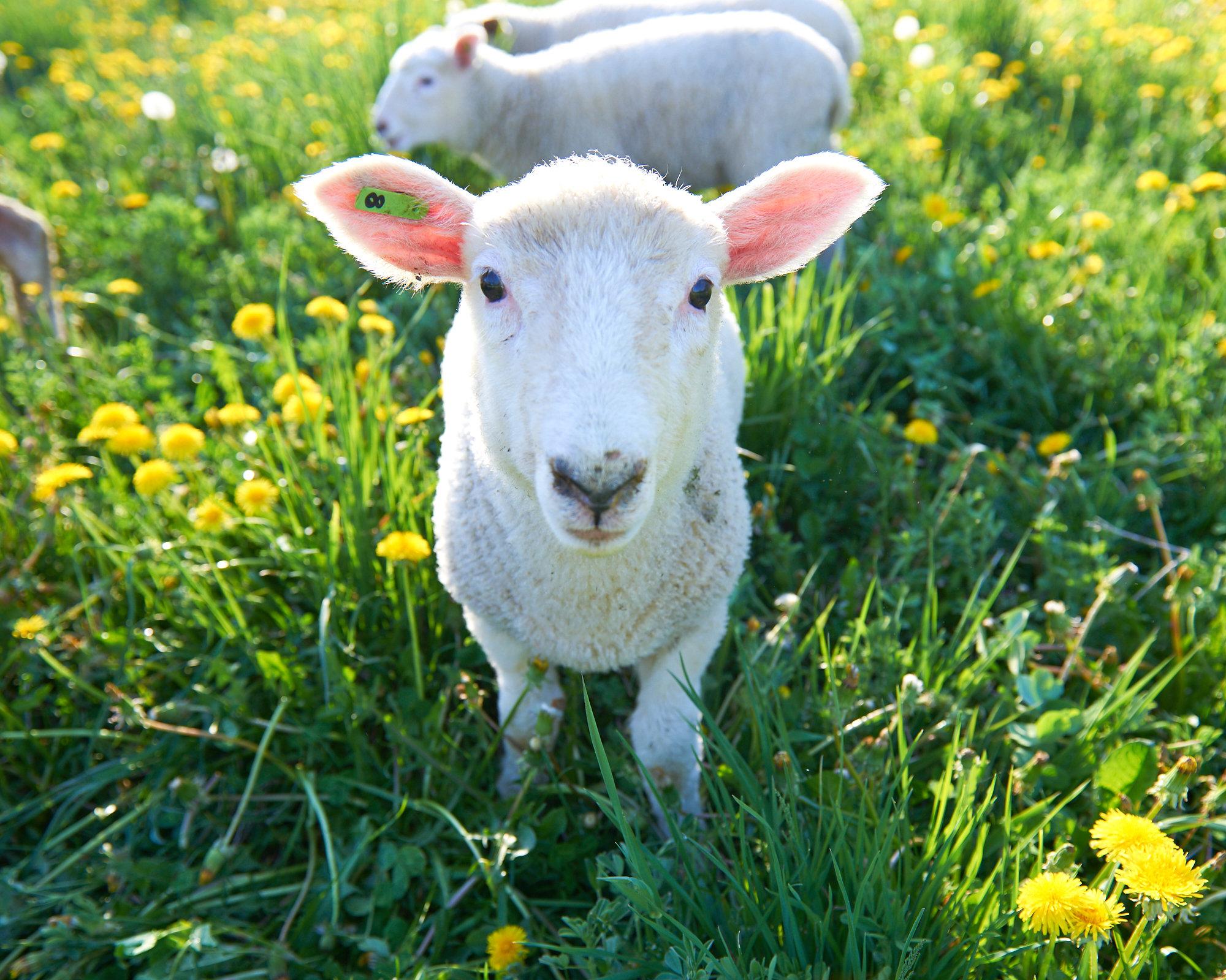 lamb-facing