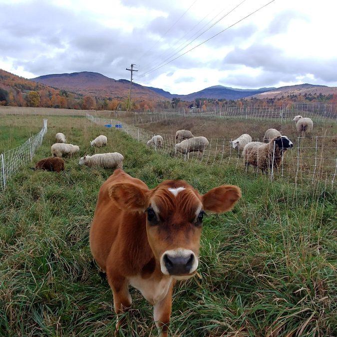 heifer-field